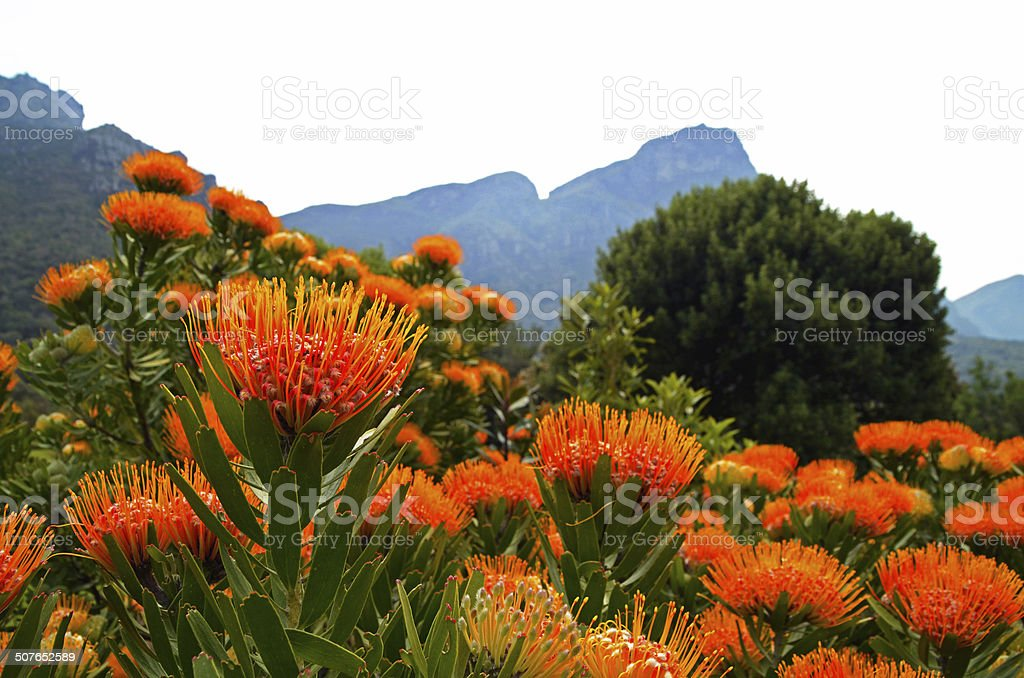 Pincushion Proteas stock photo
