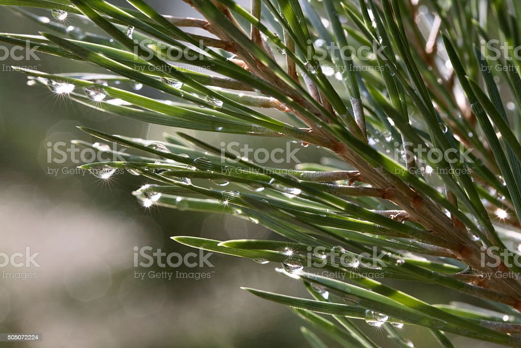 Pine after rain stock photo