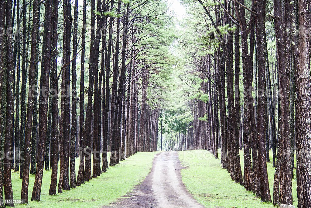 Pine Agroforestry. Boa Keaw Silvicultural Research Station (Suan royalty-free stock photo