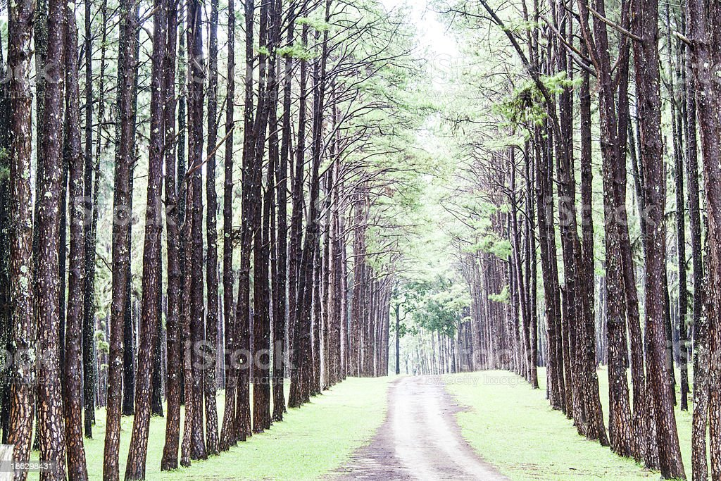 Pine Agroforestry. Boa Keaw Silvicultural Research Station (Suan stock photo