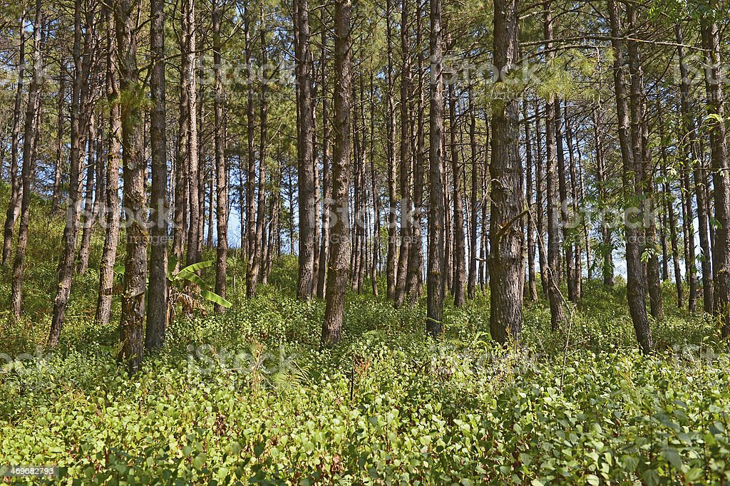 Pine Agroforestry in Doi Inthanon. Chiang Mai, Thailand stock photo