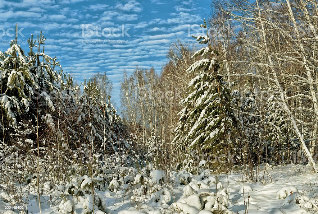 Pine and birch trees covered with frost stock photo