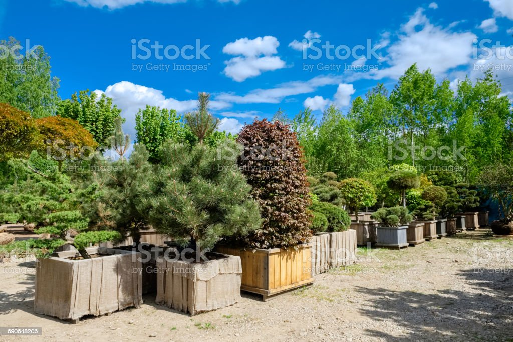 Pine and fir in pots and bonsai garden plants on tree farm. stock photo