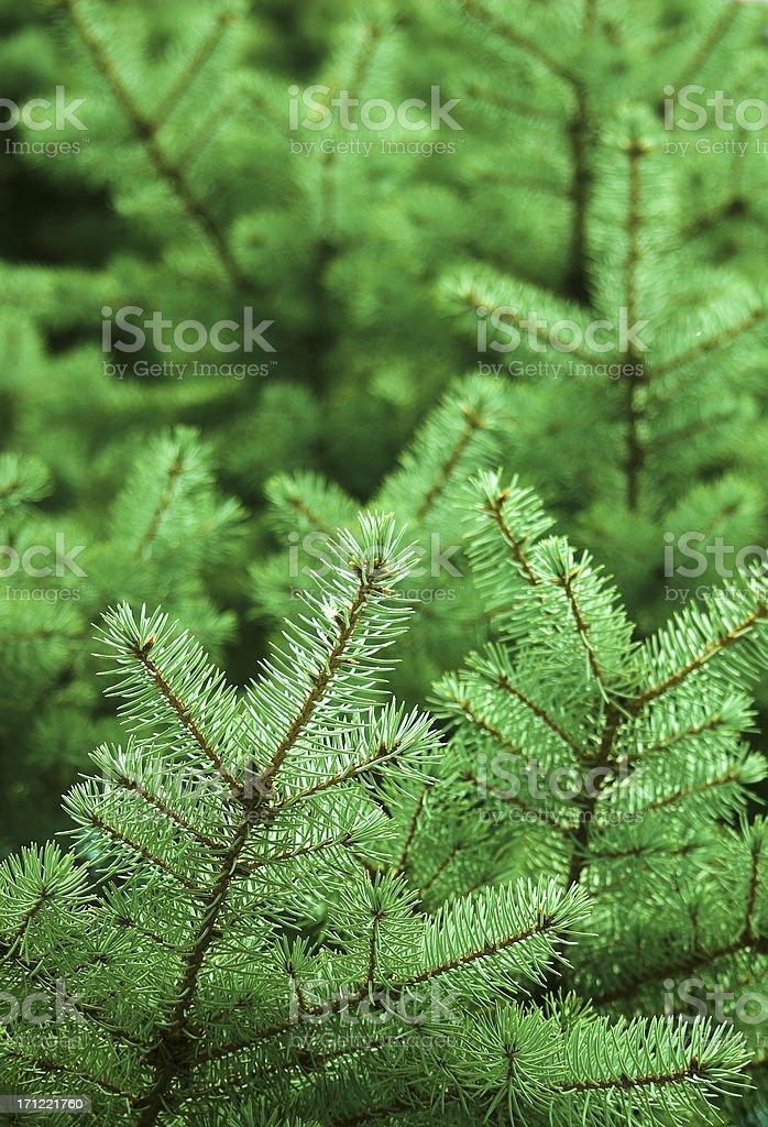 Pine Background royalty-free stock photo