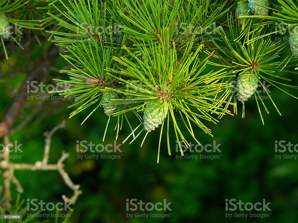 pine background with cones royalty-free stock photo