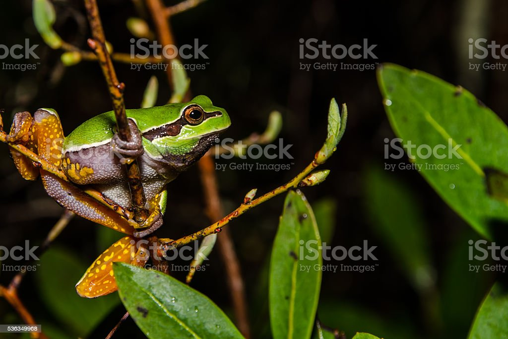 Pine Barrens Treefrog stock photo