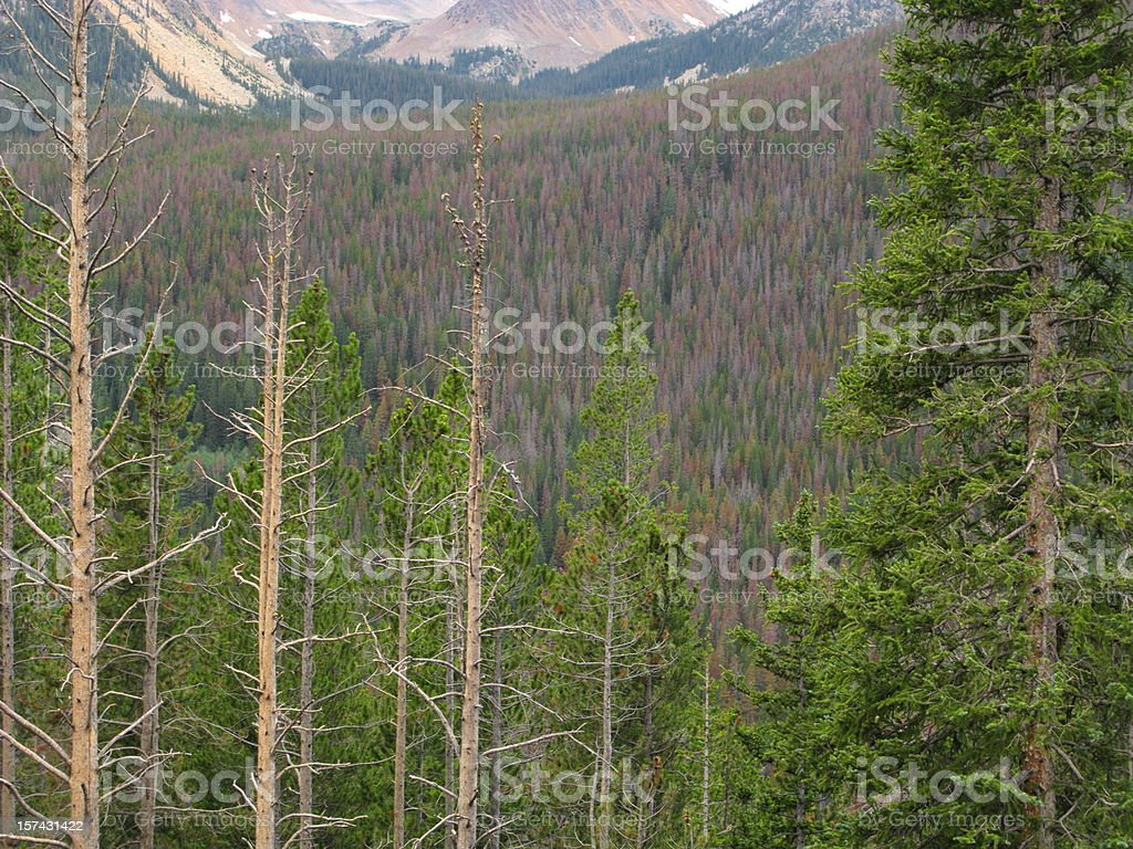 Pine Beetle Damage Forest stock photo