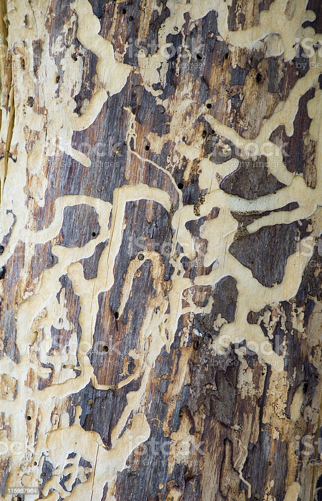 Pine Beetle Damage stock photo