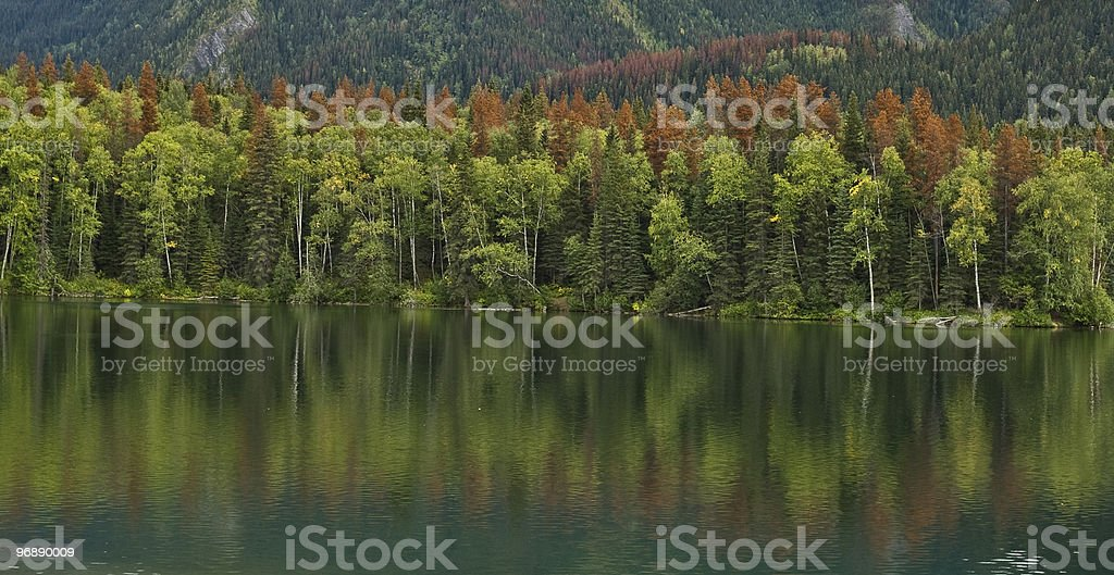Pine Beetle Killed Trees stock photo