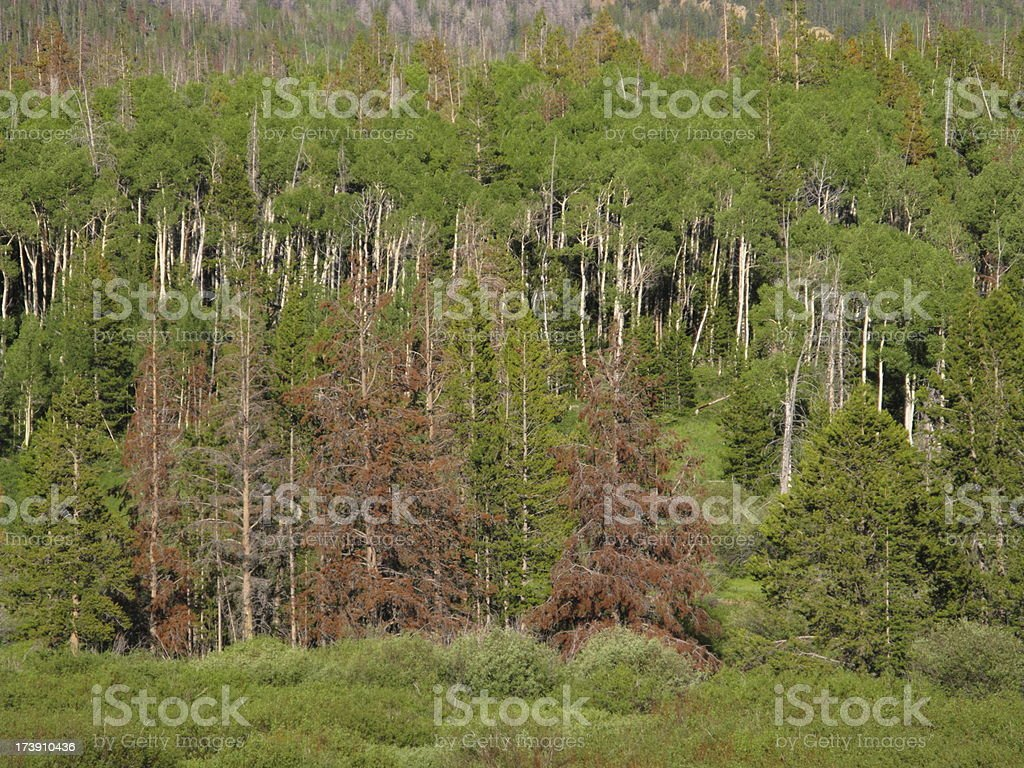 Pine Beetle Trees Forest Damage stock photo