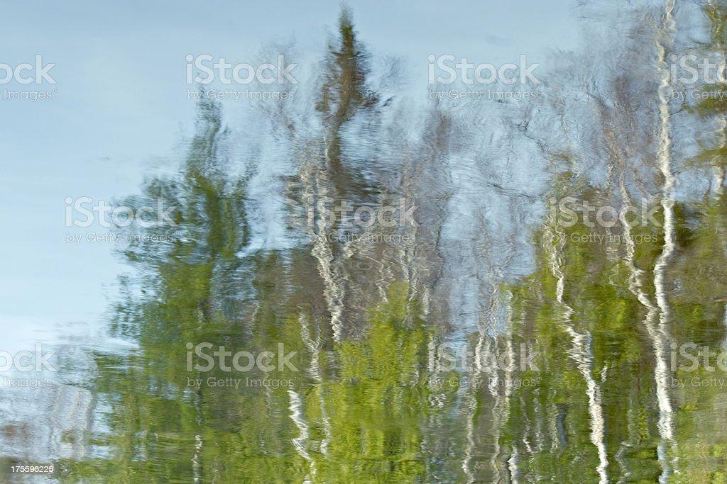 Pine & Birch Reflecting royalty-free stock photo