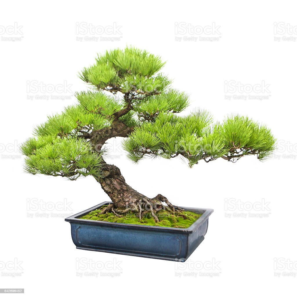 Pine bonsai tree stock photo