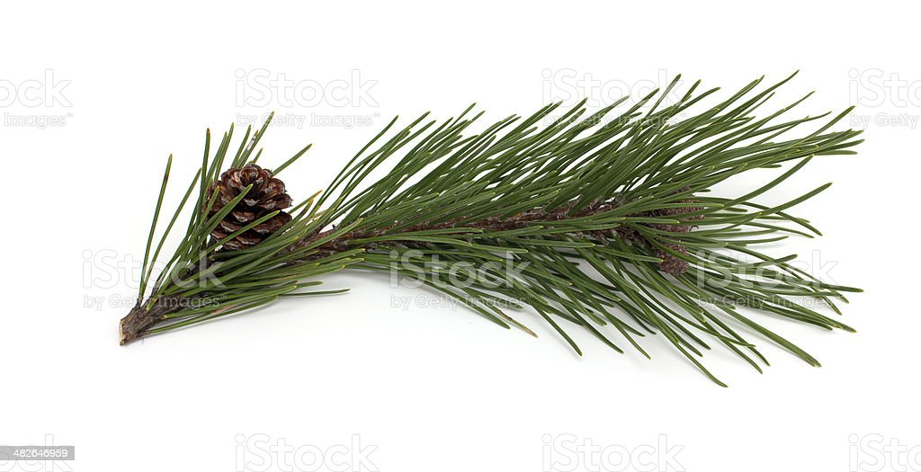 pine branch and cones isolated on white background stock photo