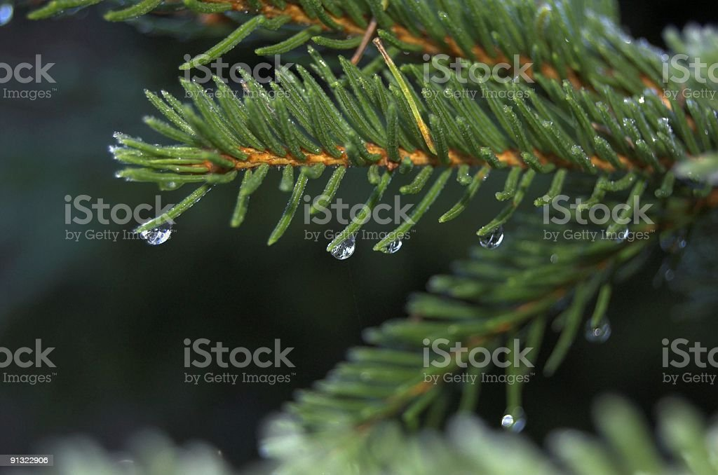 Pine Branch and Droplet stock photo