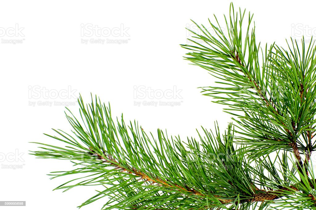 Pine branch close-up on a pure white background. stock photo