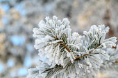 Pine branch covered by snow