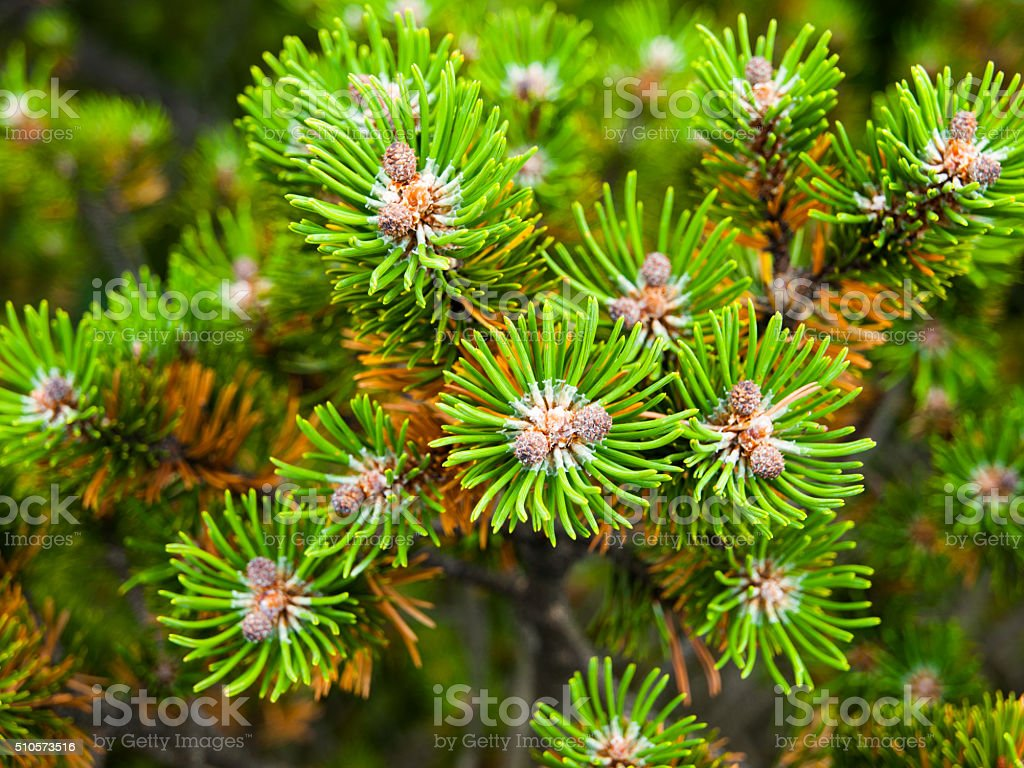 Pine branch detailed view stock photo