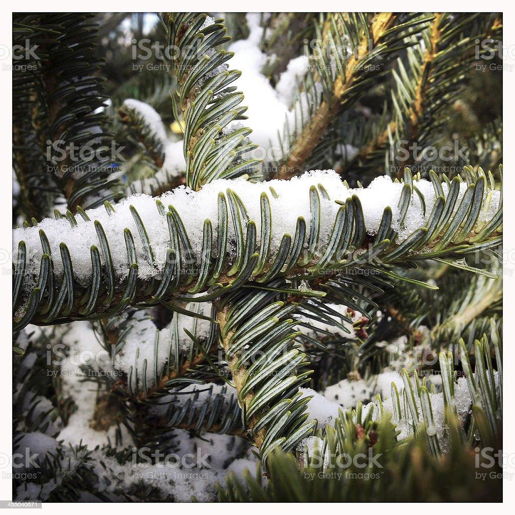 Pine Branch Holding Snow stock photo