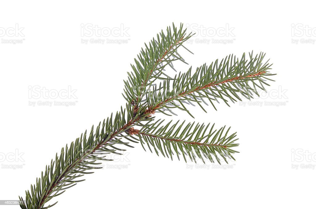 Pine branch isolated on white stock photo