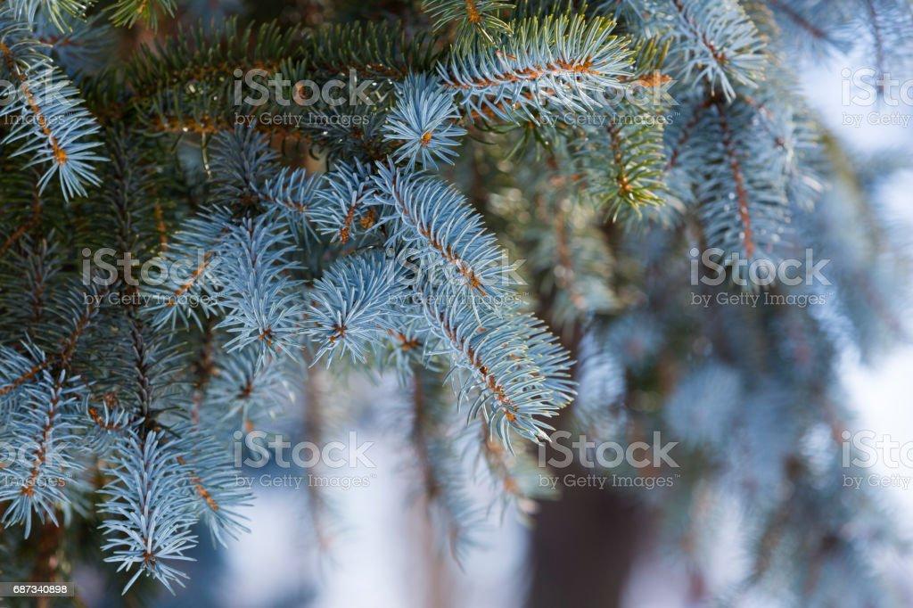 Pine branch stock photo