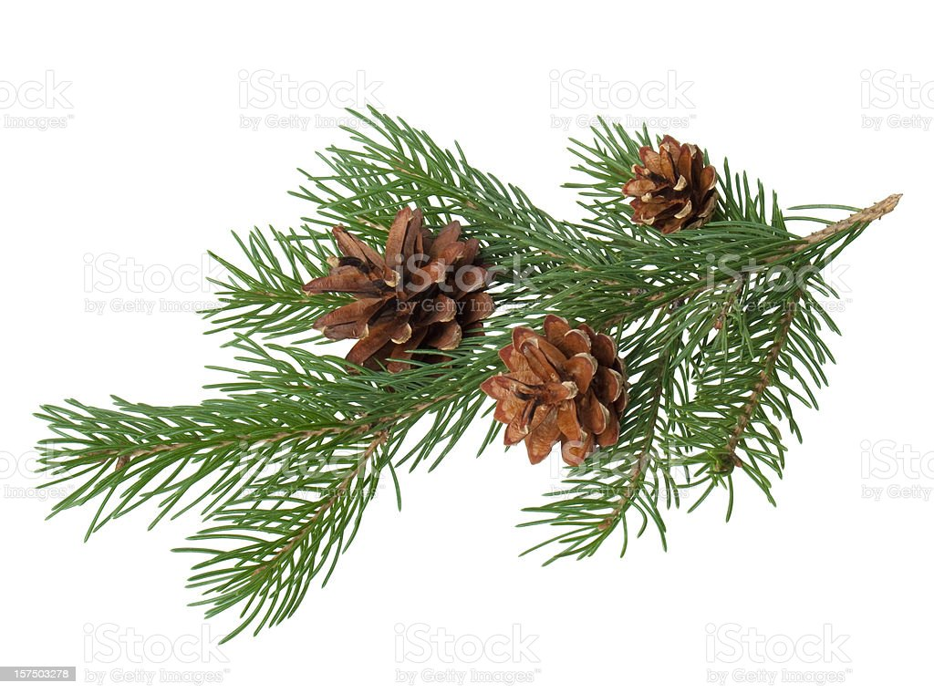 Pine branch with cone stock photo