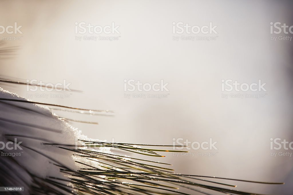 Pine Branch with Copy Space royalty-free stock photo