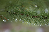 Pine branch with drops.