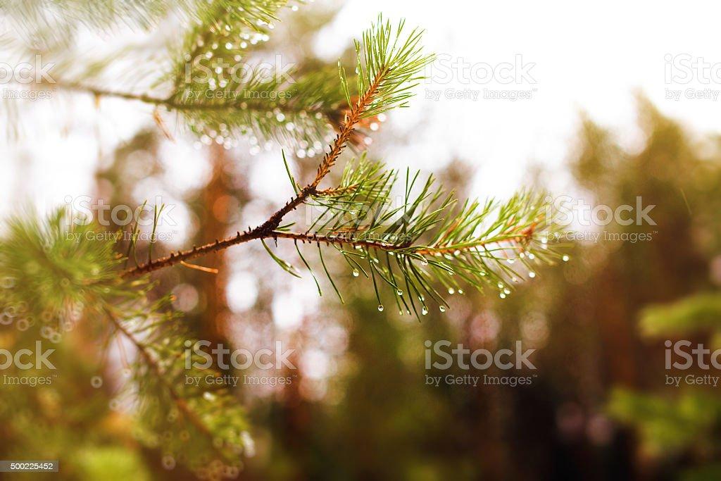 pine branch with rain drops stock photo