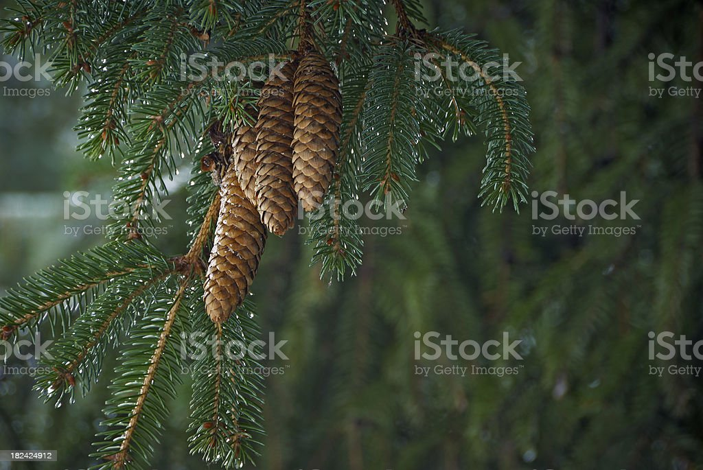 Pine branch with ripe cones and droplets stock photo