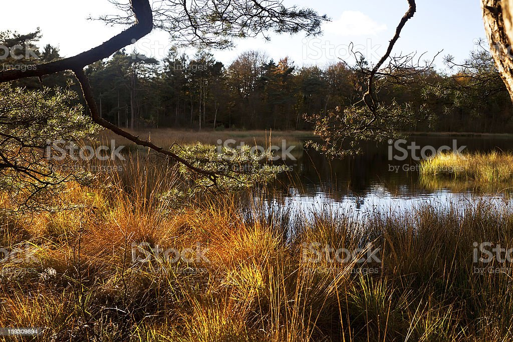 pine branches and lake royalty-free stock photo