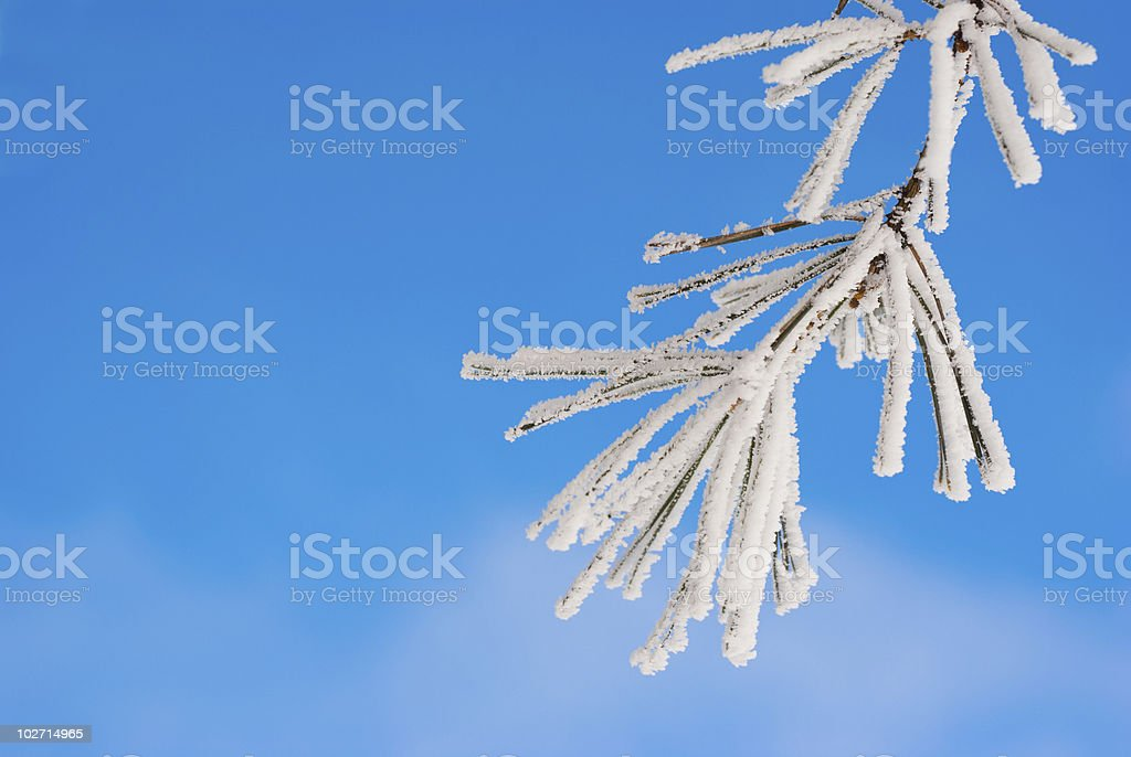 Pine branches in the snow royalty-free stock photo