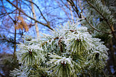 Pine branches, needles covered with frost.