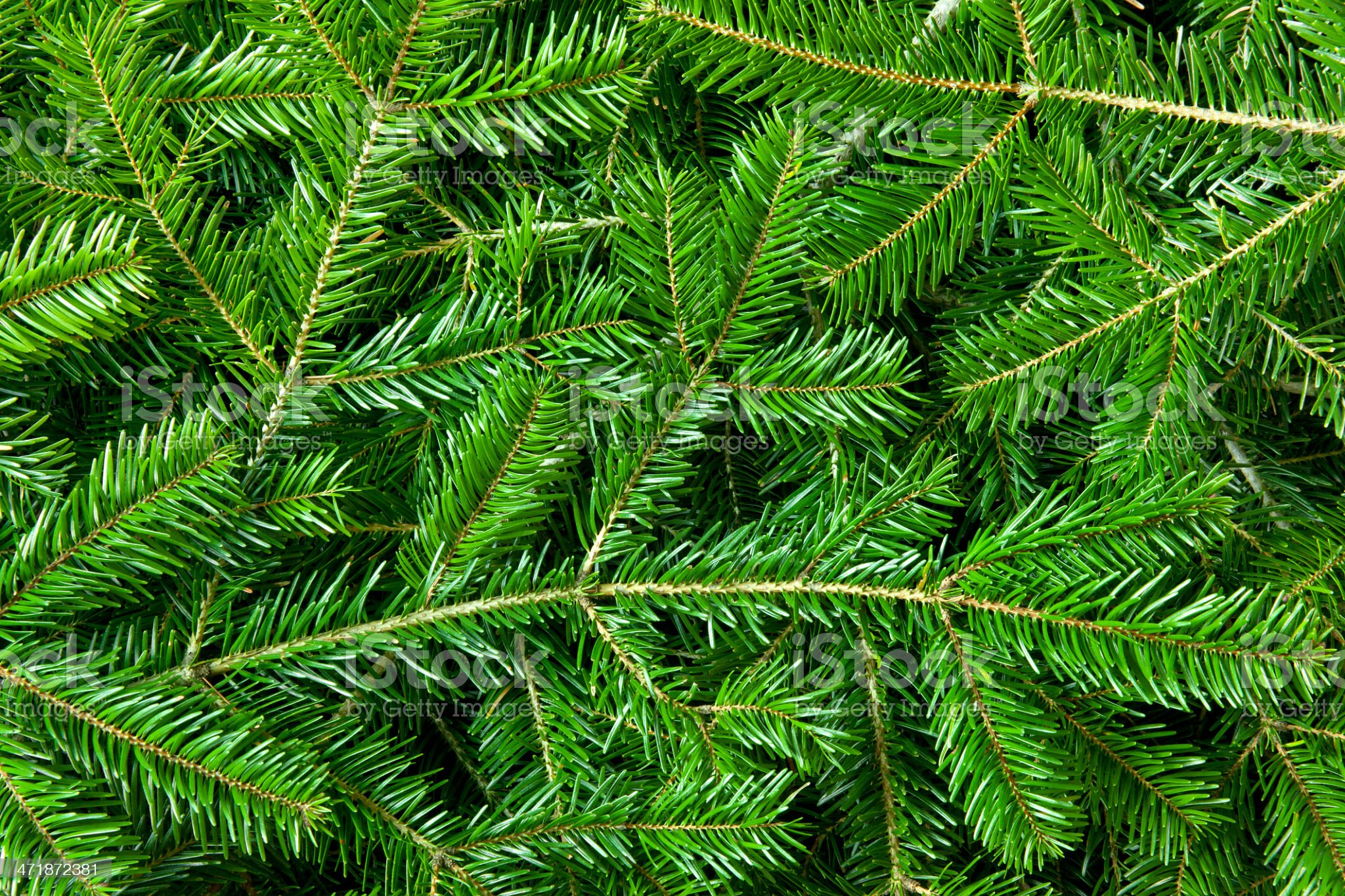 Pine branches royalty-free stock photo