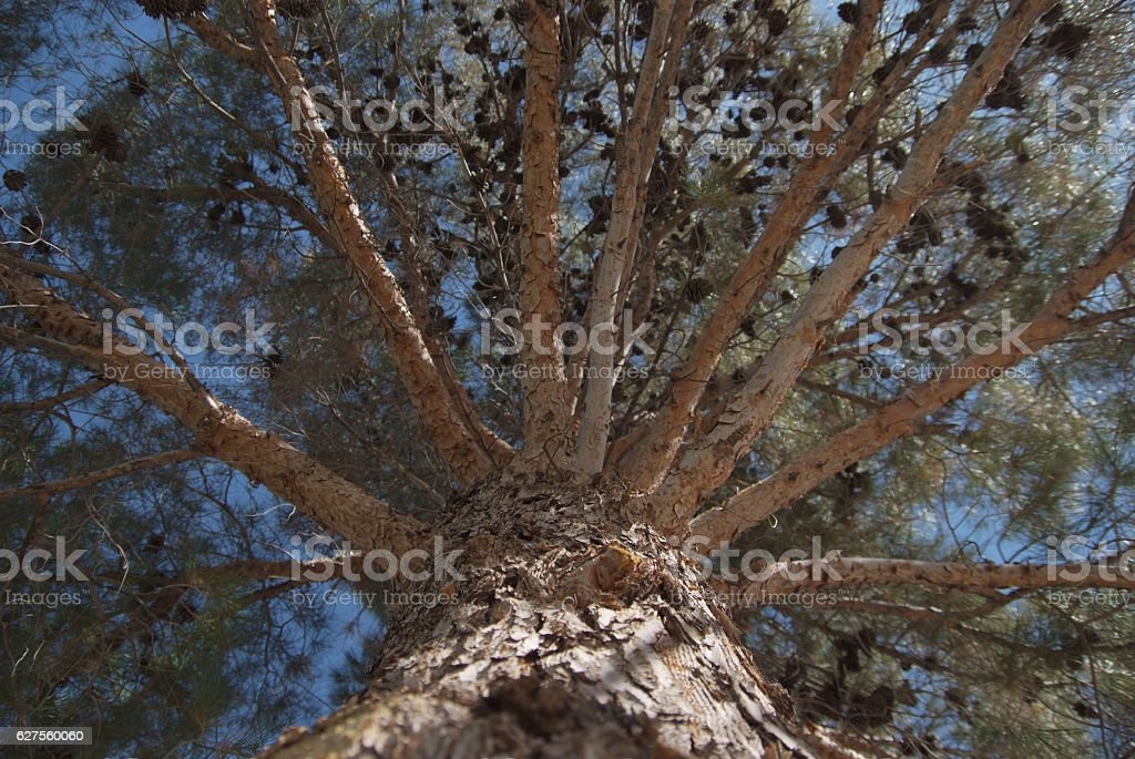 Pine Branches View From Below stock photo