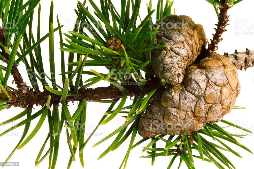 pine bunch with cones royalty-free stock photo