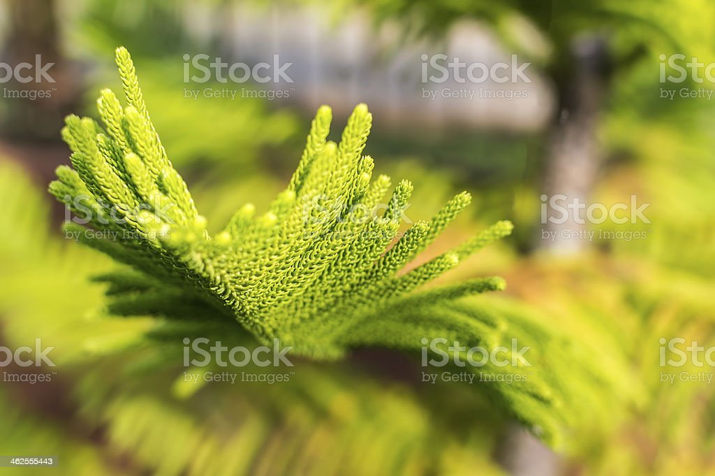 Pine casuarina stock photo