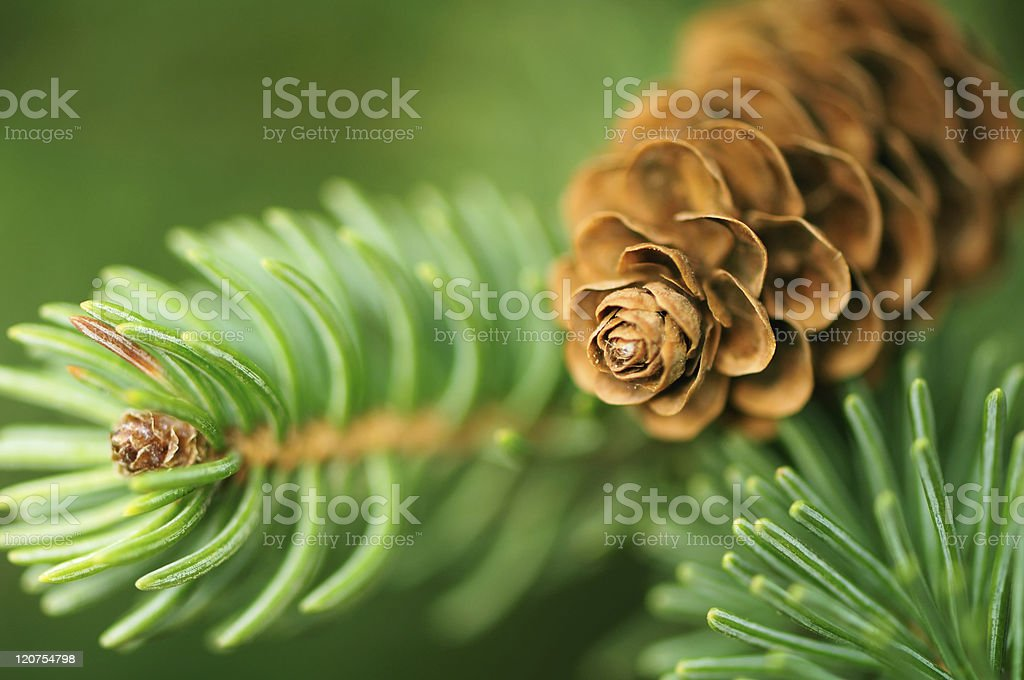 Pine Cone And Branches stock photo
