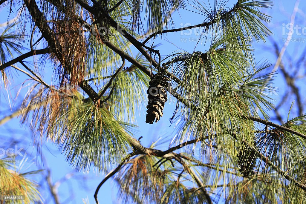 Pine cone and leaves royalty-free stock photo