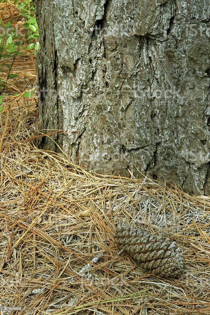 Pine Cone and Tree royalty-free stock photo