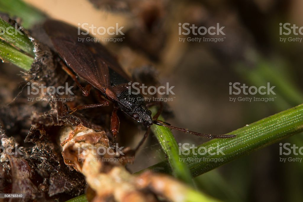 Pine cone bug (Gastrodes grossipes) stock photo