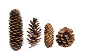 Pine Cone Collection