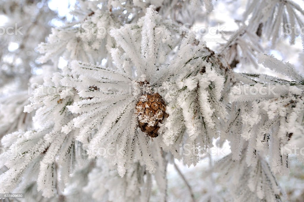 pine cone coverd with frost in winter stock photo