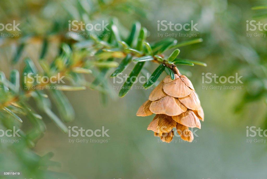 Pine Cone from Japanese Hemlock Tree stock photo