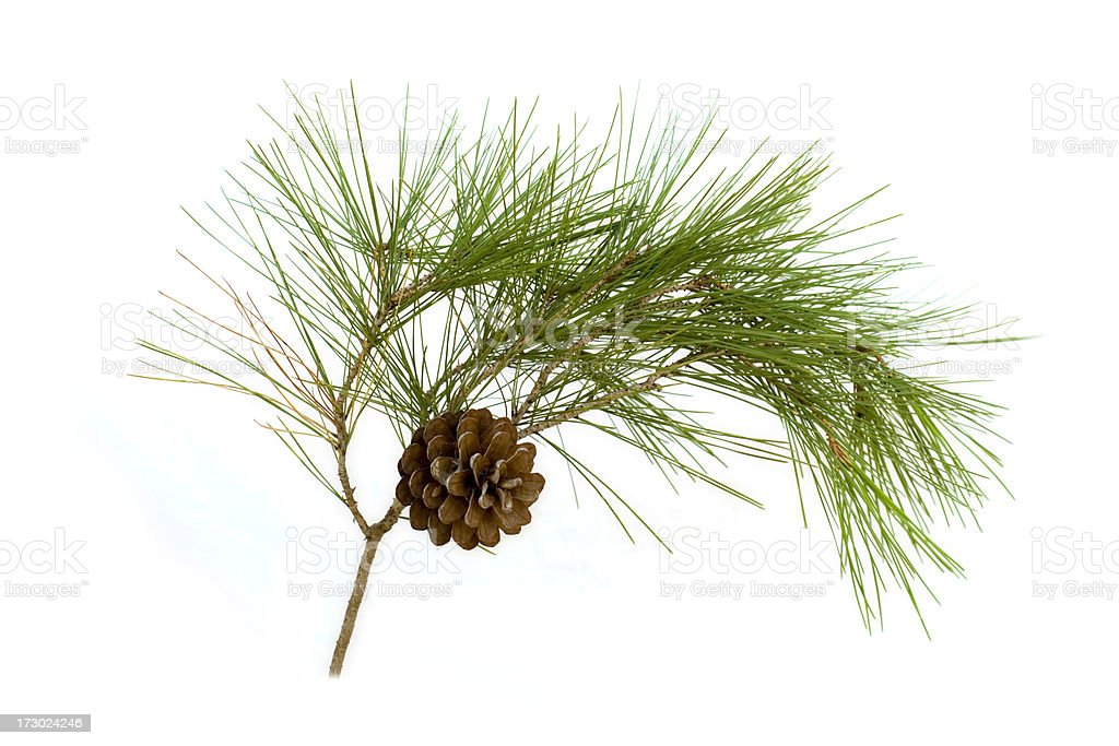 A pine cone hanging on a branch with green thistles royalty-free stock photo