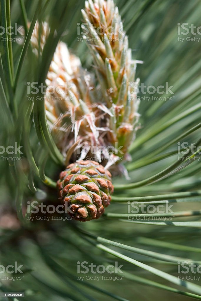 Pine Cone in spring stock photo