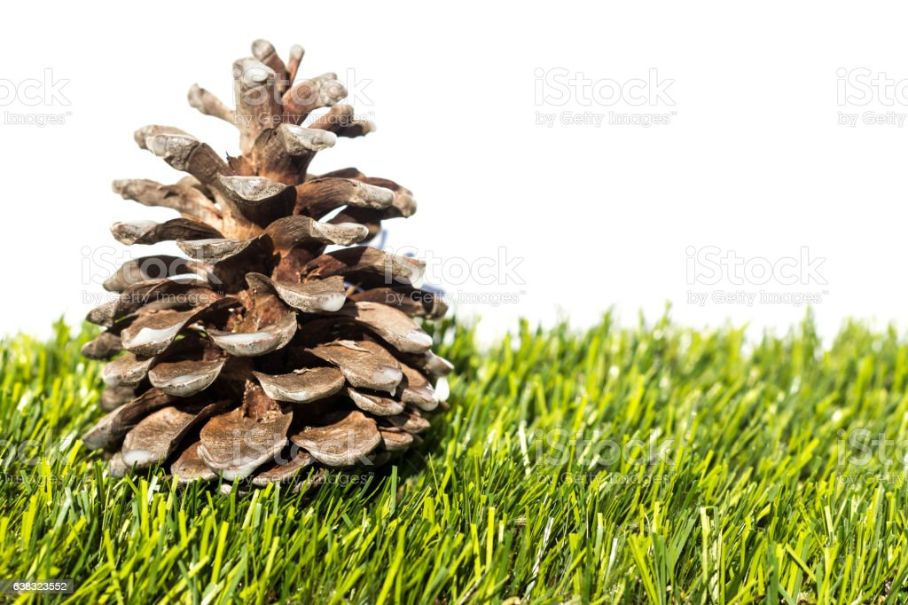Pine cone in the grass stock photo