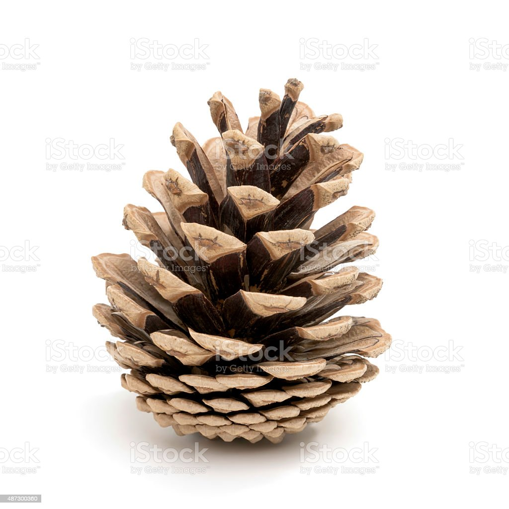 Pine cone on white stock photo
