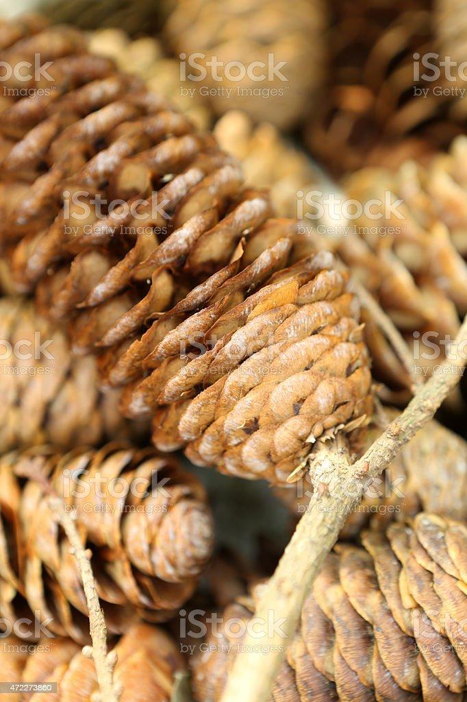 Pine Cone / Strobile / Strobilus stock photo