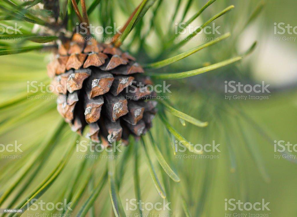 pine cone tree macro nature stock photo