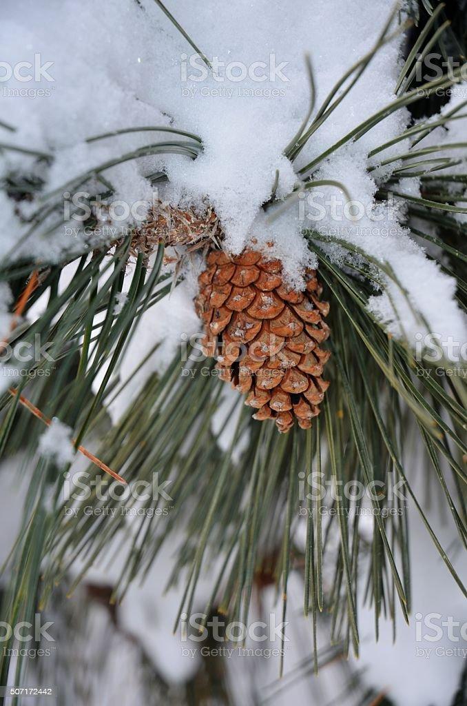 Сосновая шишка под снежного Стоковые фото Стоковая фотография